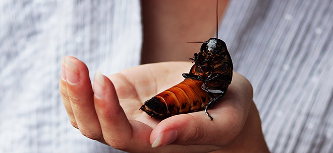 Мадагаскарский таракан фото — Как выглядит